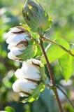 Cápsulas gêmeas do algodão antes da colheita fotografia de stock royalty free