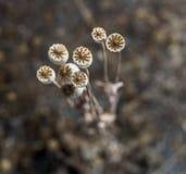 Cápsulas secadas de la amapola en el campo español tórrido foto de archivo libre de regalías