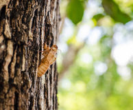 Cáscara de la cigarra en el árbol imagen de archivo