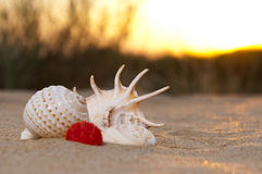 Cáscara de la concha marina o de concha de peregrino en puesta del sol Imagen de archivo libre de regalías