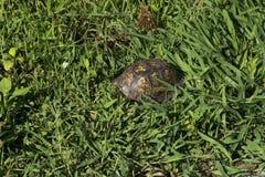 Cáscara de la tortuga en hierba fotos de archivo