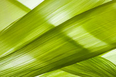 Cáscara de maíz Foto de archivo