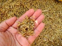 Cáscara del arroz en la mano Foto de archivo libre de regalías