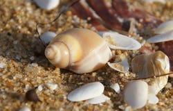 Cáscara del caracol de mar en la playa Imágenes de archivo libres de regalías