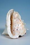 Cáscara del Concha Foto de archivo libre de regalías