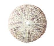 Cáscara del erizo de mar. Fotos de archivo libres de regalías