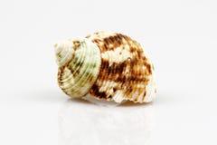 Cáscara del mar aislada en el fondo blanco Imágenes de archivo libres de regalías