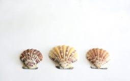 Cáscara del mar en el backgound blanco el 2 de octubre de 2015 Foto de archivo libre de regalías