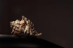 Cáscara del mar en fondo negro Fotografía artística imagen de archivo libre de regalías