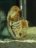 Cáscara del nautilus que nada en acuario imagenes de archivo