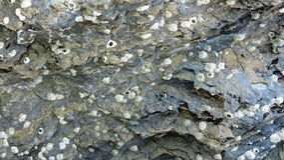 Cáscara fósil en la roca sedimentaria imágenes de archivo libres de regalías