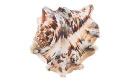 Cáscara grande del mar con color marrón y blanco Imágenes de archivo libres de regalías