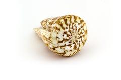 Cáscara hermosa del mar, conus de Pulcher, en el fondo blanco para los carteles, sitios, tarjetas de visita, postales, diseño int Fotos de archivo