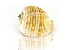 Cáscara hermosa del mar, gálea Tonna, en el fondo blanco para los carteles, sitios, tarjetas de visita, postales, diseño interior Fotografía de archivo libre de regalías
