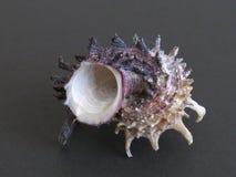 Cáscara imperial del mar de Delphinula Fotos de archivo libres de regalías