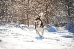Cáscara masculina al aire libre en un bosque nevoso Imagen de archivo libre de regalías