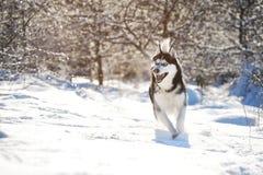 Cáscara masculina al aire libre en un bosque nevoso Fotografía de archivo