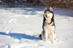 Cáscara masculina al aire libre en un bosque nevoso Foto de archivo libre de regalías