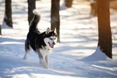 Cáscara masculina al aire libre en un bosque nevoso Fotografía de archivo libre de regalías