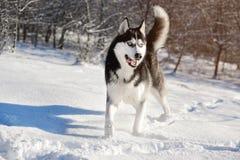 Cáscara masculina al aire libre en un bosque nevoso Fotos de archivo libres de regalías