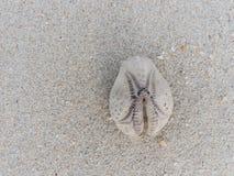 Cáscara oval blanca y marrón de la anémona de mar de la forma sobre fondo arenoso de la textura Fotografía de archivo libre de regalías