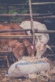 Cáscara y vacas de maíz Imagenes de archivo