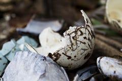 Cáscaras de huevo azules Imagen de archivo libre de regalías