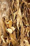 Cáscaras de maíz de la caída y maíz secado imagen de archivo