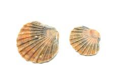 Cáscaras de ostra Imagen de archivo libre de regalías