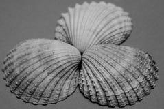Cáscaras del berberecho Imagen de archivo libre de regalías