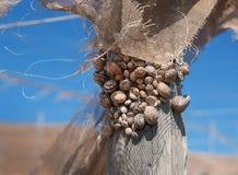 Cáscaras del caracol en posts de madera Fotografía de archivo libre de regalías