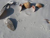 Cáscaras del mar y pistas del pájaro Foto de archivo