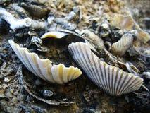 Cáscaras en impresiones de la bella arte del papel pintado del fondo de las rocas del mar foto de archivo