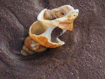 Cáscaras erroded grandes del mar de la cáscara del bucino en la arena Imagen de archivo libre de regalías