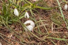 Cáscaras quebradas del caracol en la hierba Abandonado a casa Imágenes de archivo libres de regalías