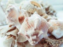 Cáscaras y alga marina Fotografía de archivo libre de regalías