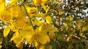 Cássia amarela das flores frescas da foto 4 imagens de stock