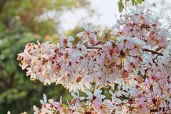 Cássia cor-de-rosa, chuveiro cor-de-rosa, desejando a árvore, bakeriana Craib da cássia flor que floresce com luz Imagem de Stock