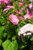Câmara de ar de teste com líquido e a flor cor-de-rosa Fotos de Stock Royalty Free