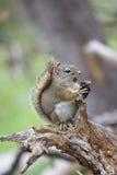 Câmera cândido do esquilo Foto de Stock