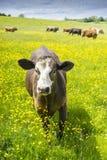 Câmera de aproximação da única vaca no campo dos botões de ouro Fotografia de Stock Royalty Free