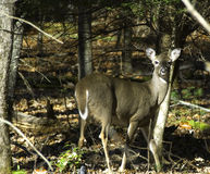 Câmera de Fawn In Woods Looking At Imagens de Stock Royalty Free