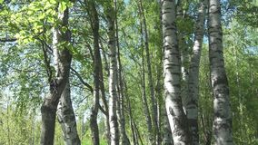 A câmera move-se em um birchwood através dos troncos brancos dos vidoeiros vídeos de arquivo