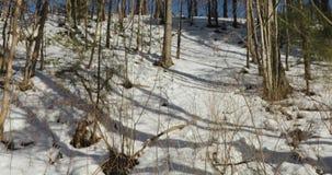 A câmera move-se para cima descolando arbustos e os galhos secos da mesma forma as árvores na mola adiantada video estoque