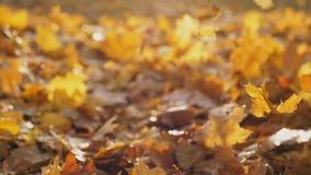 A c?mera que segue ?s folhas de bordo amarelas que caem para moer na floresta Sun do outono ilumina a folha ca?da seca colorido video estoque
