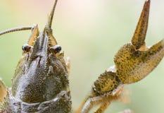 Câncer dos crustáceos dos artrópodes Fotografia de Stock