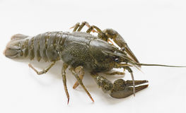 Câncer dos crustáceos dos artrópodes Foto de Stock Royalty Free