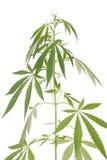 Cânhamo (cannabis) Fotografia de Stock