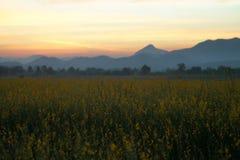 Cânhamo de Sunn ou flor do juncea do crotalaria com o backgro bonito do céu foto de stock royalty free