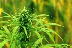 Cânhamo industrial cultivado da marijuana no campo fotografia de stock